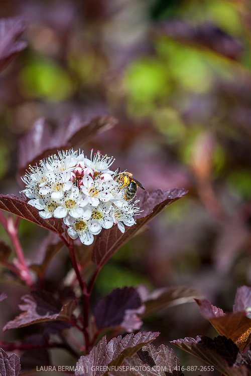 A pollen-covered Adrenid or Mining bee feasting on the flowers of  Summer Wine ninebark (Physocarpus opulifolius 'Seward').