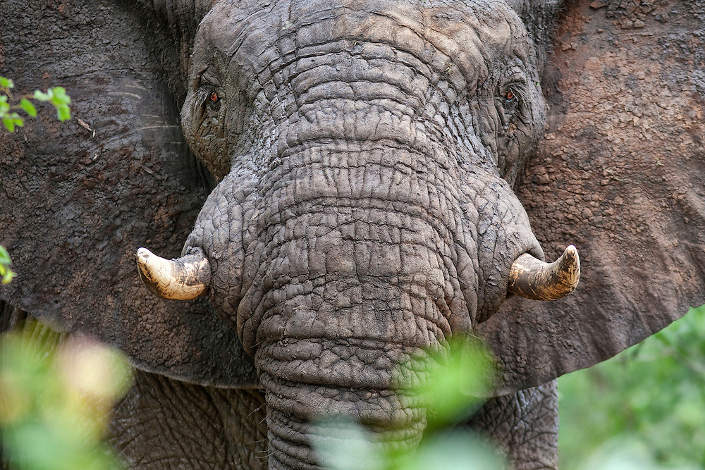 Portrait of an African Elephant bull covered in mud watching intently from the bushes.  Zimbabwe.