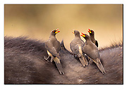Yellow-billed oxpeckers gathering on the top of an African buffalo. Nikon D500, 600mm f3, 1/1250sec, ISO250, aperture priority.