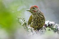 Knysna Woodpecker, De Hoop Nature Reserve, Western Cape, South Africa