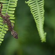 Ulber's bent-toed gecko (Cyrtodactylus interdigitalis) in Kaeng Krachan national park, Thailand
