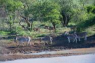 Zebras and Impalas walking by a watering hole.