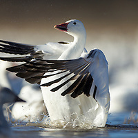 USA, New Mexico, Bosque del Apache National Wildlife Refuge, Snow Goose (Chenhyperborea hyperborea) spreads wings while grooming in lake on winter afternoon