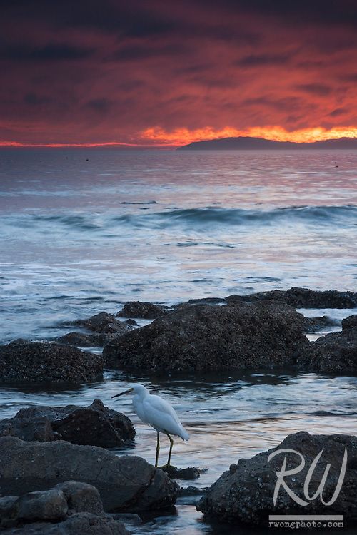 Snowy Egret at Crystal Cove State Park, Laguna Beach, California