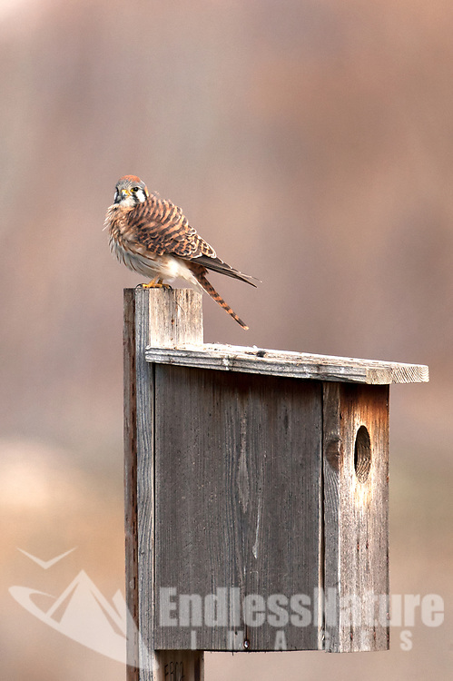 A female American kestrel sits on the top of a manmade nesting box.