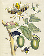 Beetles Plant and butterfly from Metamorphosis insectorum Surinamensium (Surinam insects) a hand coloured 18th century Book by Maria Sibylla Merian published in Amsterdam in 1719