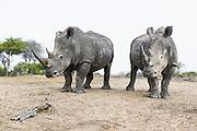 White Rhino bulls, Mkhaya Game Reserve, Swaziland