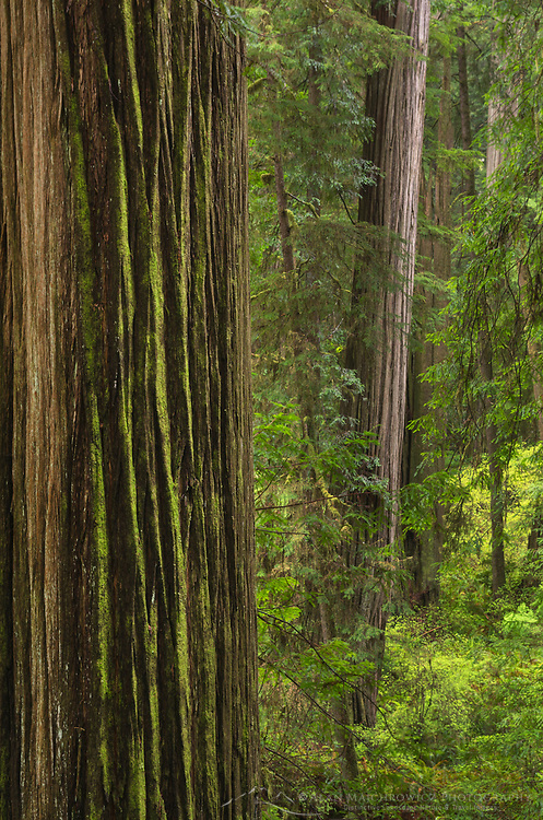 Coast Redwoods (Sequoia sempervirens) forest, Jedidiah Smith State Park, California