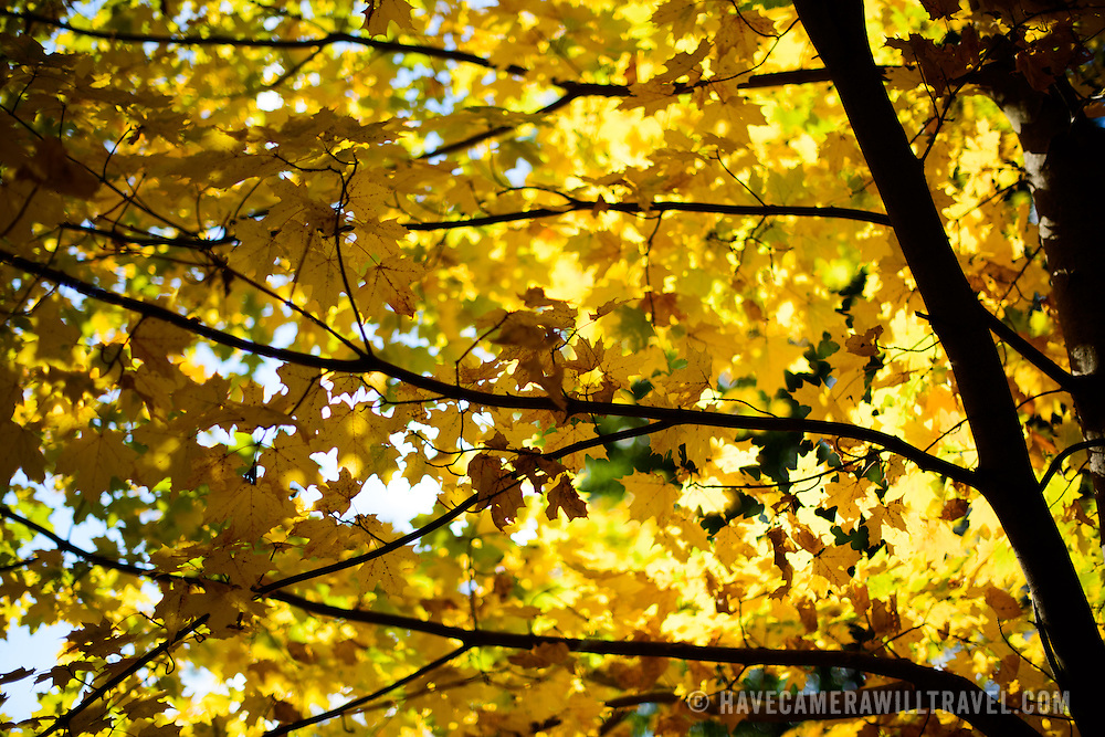 Yellow leaves in the fall backlit against the sunshine.