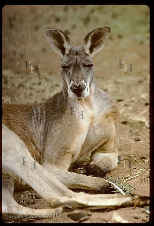 Male red kangaroo lies on side like bathing beauty as he rests in pen at zoo; Wagga Wagga, NSW. Australia