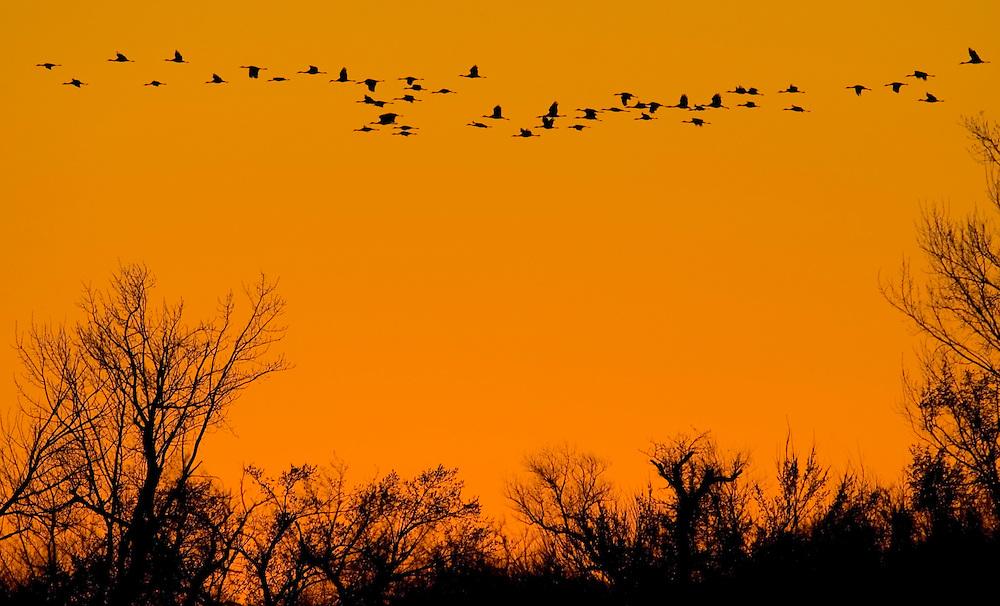 Sandhill Cranes Platte River
