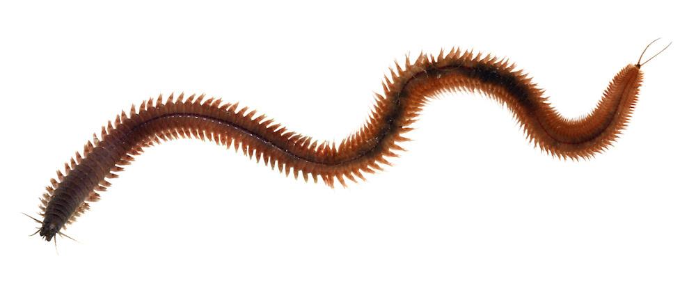 Ragworm - Perinereis cultrifera