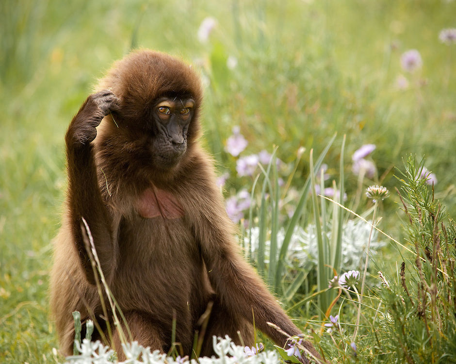 Female gelada baboon peering suggestively toward the camera on the Guassa Plateau of the Ethiopian Highlands
