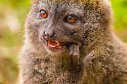 Eastern Lesser Bamboo Lemur  (Hapalemur griseus) also known as the eastern lesser bamboo lemur, the gray gentle lemur, and the gray bamboo lemur.
