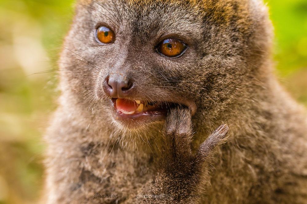Eastern Lesser Bamboo Lemur  (Hapalemur griseus) also known as the eastern lesser bamboo lemur, the gray gentle lemur, and the gray bamboo lemur.