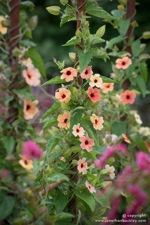 Thunbergia alata 'African Sunset'  (Black eyed Susan)
