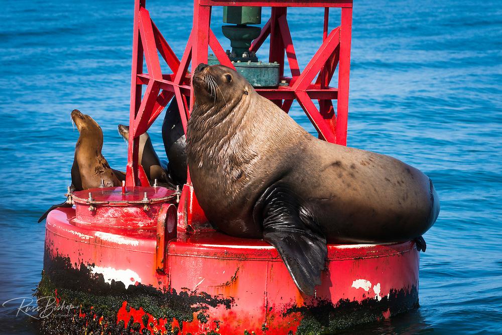Steller sea lion (Eumetopias jubatus) on harbor buoy, Ventura, California