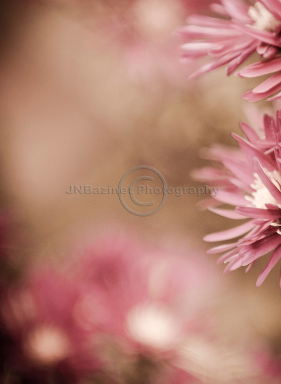 Desaturated pink aster create a natural photo frame