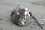dead puffer on Montezuma beach