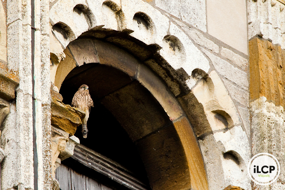 Eurasian Kestrel (Falco tinnunculus) fledgling on church, Saint Philibert's Church, Tournus, Burgundy, France