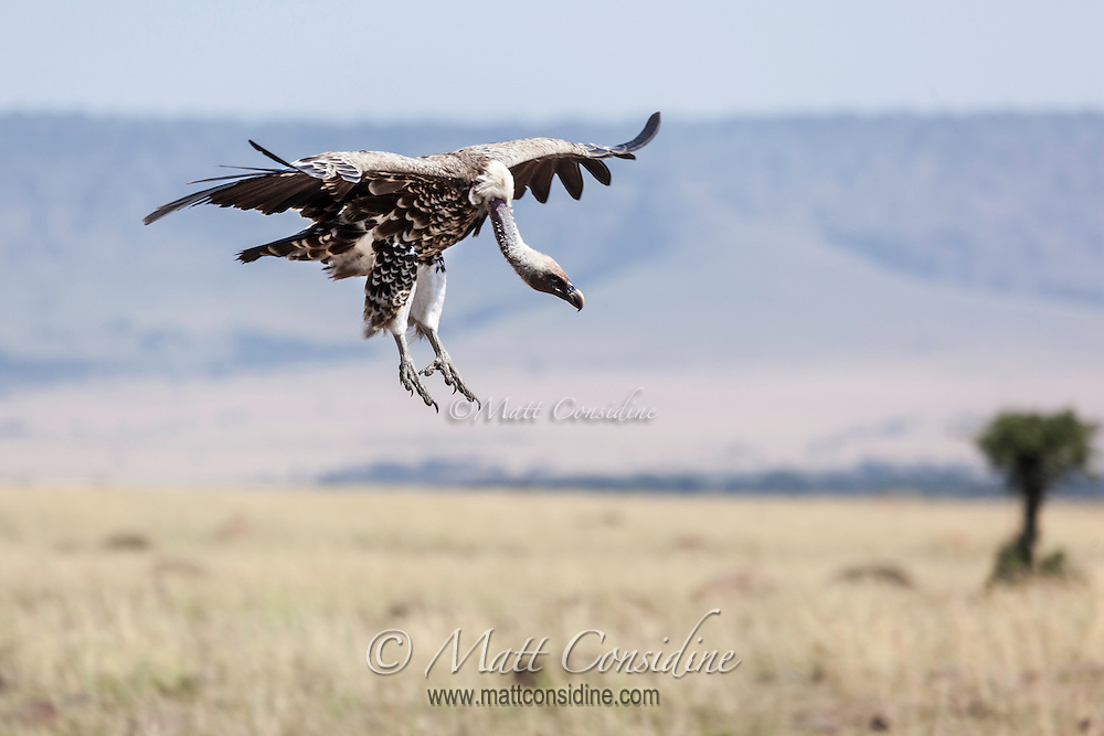An African white-backed vulture, Gyps africanus, coming in to land with outspread wings , Kenya, Africa (photo by Wildlife Photographer Matt Considine)