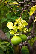 Choy mouse pamel, Enchanting Floral Gardens, Kula, Maui, Hawaii