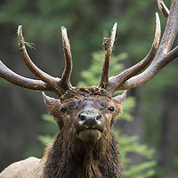 close up of rutting bull elk