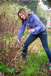Pruning an herbaceous clematis with secateurs in spring.