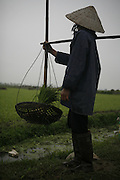 Vietnam. March 12th 2007. .A Vietnamese woman works in a paddy field on the road between Hanoi and Ha Long.