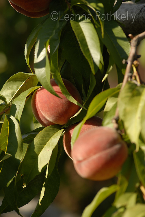 The Peaches are ripe and ready for picking in the Okanagan, BC Canada