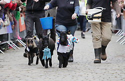 London 06/04/2014<br /> Three goats, Oxford (right), And (left), Cambridge (centre) race in the Spitalfields City Farm Goat Race that coincides with the Oxford and Cambridge Boat Race. The goat named And won.