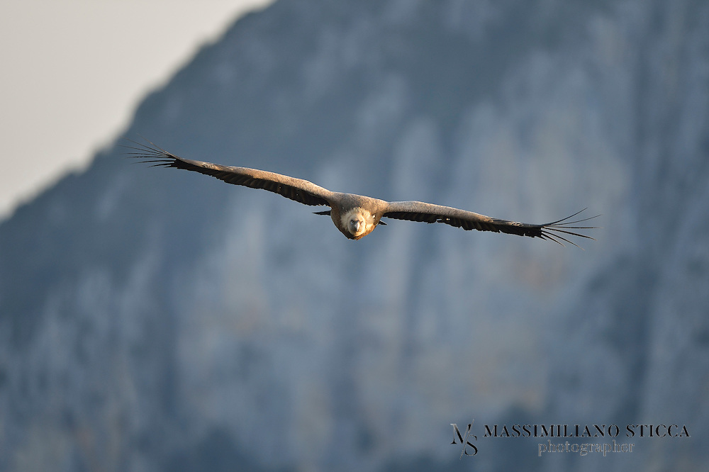 Like other vultures, it is a scavenger, feeding mostly from carcasses of dead animals which it finds by soaring over open areas, often moving in flocks. It establishes nesting colonies in cliffs that are undisturbed by humans while coverage of open areas and availability of dead animals within dozens of kilometers of these cliffs is high