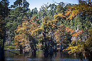 Cypress tree at Lake Caddo in the Haynesville Shale region in Northern Louisiana.