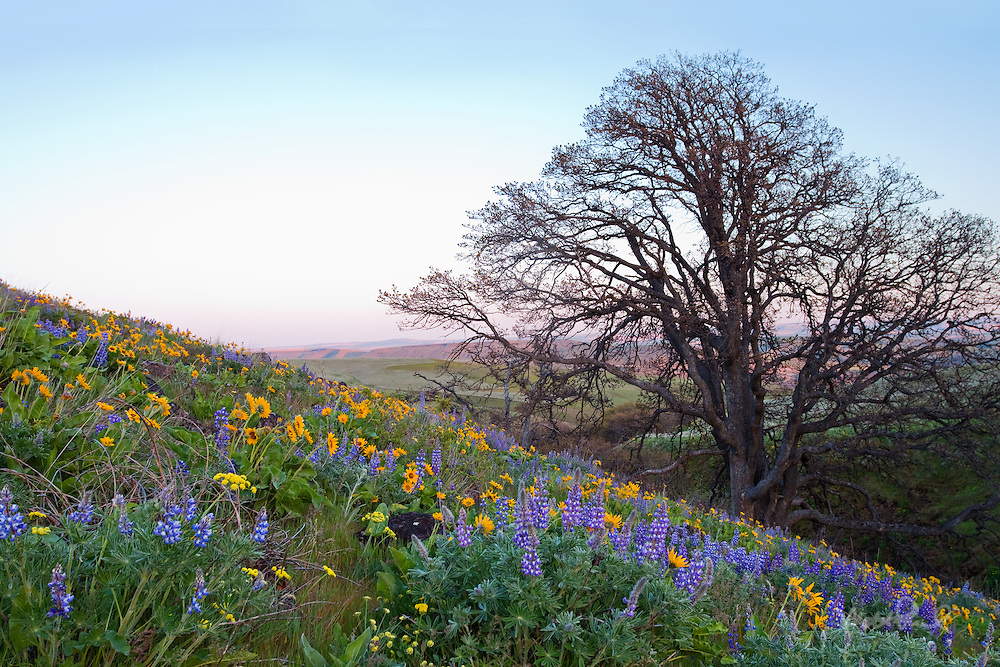 Balsamroot, Lupine and Oak in the Columbia Hills, Washington.
