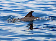 A mother and calf common dolphin (Delphinus delphis) swimming together, Bristol Channel, off North Devon coast, Southwest England, UK. The bond between mother and calf is very strong, young will suckle for over a year.