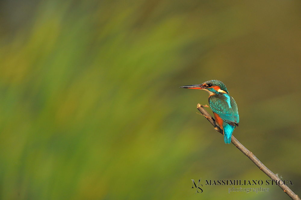The Common Kingfisher, Alcedo atthis, also known as Eurasian Kingfisher or River Kingfisher, is a small kingfisher with seven subspecies recognized within its wide distribution across Eurasia and North Africa. It is resident in much of its range, but migrates from areas where rivers freeze in winter.<br /> This sparrow-sized bird has the typical short-tailed, large-headed kingfisher profile; it has blue upperparts, orange underparts and a long bill. It feeds mainly on fish, caught by diving, and has special visual adaptions to enable it to see prey under water. The glossy white eggs are laid in a nest at the end of a burrow in a riverbank.