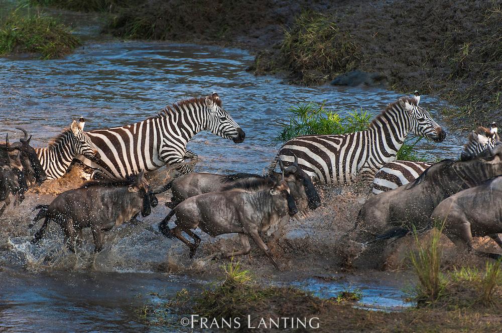 Zebras and wildebeest, crossing Talek river, Masai Mara National Reserve, Kenya