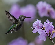 A hummingbird zeros in on an early blooming Azalea at the Washington Park Arboretum.<br /> <br /> Steve Ringman / The Seattle Times