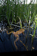Oregon Spotted Frog (Rana pretiosa) in Conboy Lake National Wildlife Refuge, Washington. © Michael Durham / www.DurmPhoto.com