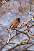 Indian Rufous Treepie, Dendrocitta vagabunda, bird in Ranthambhore National Park, Rajasthan, Northern India