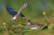 Black Tern, Chlidonias nigra, feeding its chick on the floating vegetation in the Nemunas Delta Nature Reserve, Lithuania, Europe