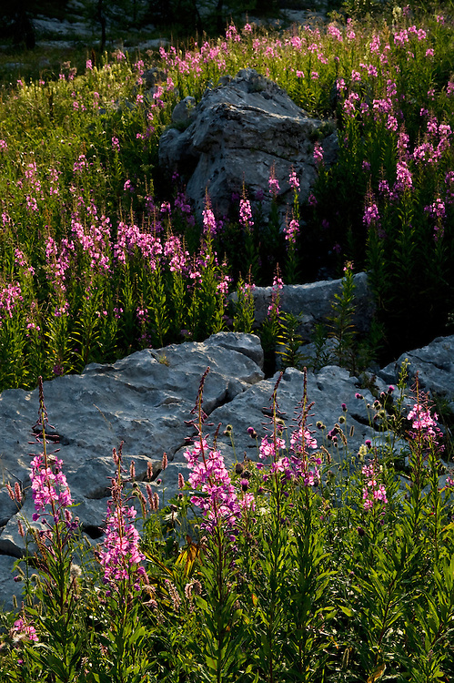 Fireweed (Epilobium angustifolium) <br /> Triglav National Park, Slovenia<br /> August 2009