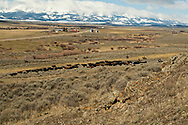 Cowboys, cowgirls, gather cows and calves for branding, Wilsall, Montana, Bridger Mountains, Shields Valley
