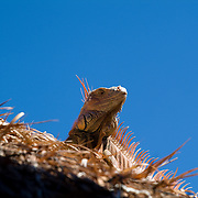 Iguana over palapa roof. Cozumel, Mexico.