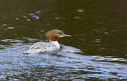 Red-breasted MMerganser