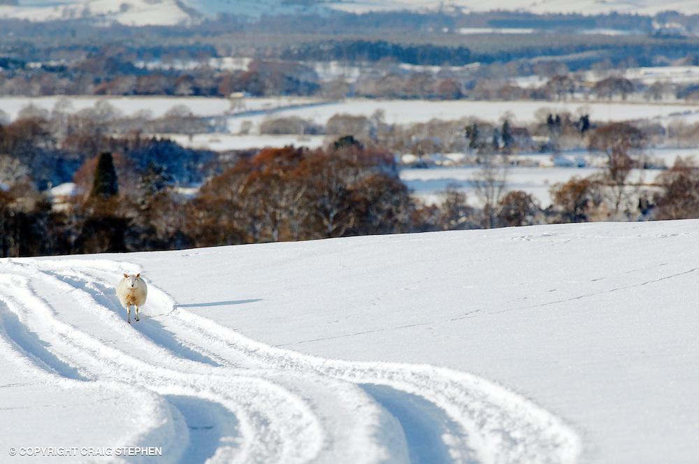 Lone sheep in a snowy field in Scotland