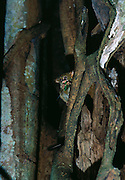 Spectral or Sulawesi Tarsier, (Tarsius spectrum), in the rainforest, Tangkoko Nature Reserve, Sulawesi, Indonesia  | Celebes-Koboldmaki