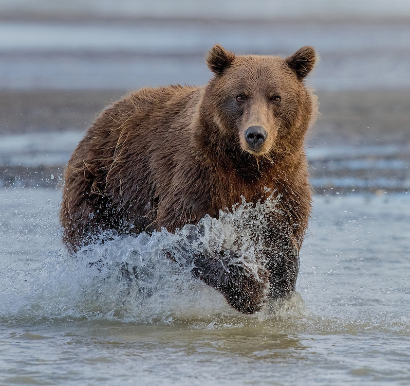 Coastal Brown Bear (Ursus arctos), Silver Salmon Creek, Lake Clark National Park and Preserve, Alaska