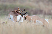 Two pronghorn bucks (Antilocapra americana) fight over mating rights during the rut, Western Montana
