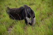 Giant Anteater (Myrmecophaga tridactyla)<br /> Karanambu Lodge<br /> Rupununi<br /> GUYANA<br /> South America<br /> RANGE: Central & South America<br /> CITES II listed as vulnerable